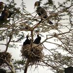 Kormorane auf Nest