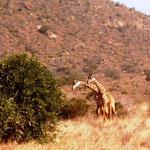Kämpfende Giraffenbullen