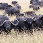 3 wachsame Büffel
