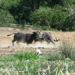 kämpfende Büffel