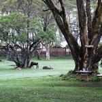 Wasserbock und Gnu