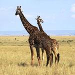 Mama Giraffe und Papa Giraffe