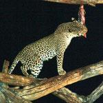 erster Leopard