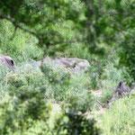 5 Nashörner