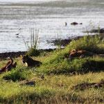 Löwen Familie am Riss