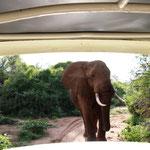 Elefantenbulle vor unserem Auto