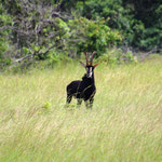 Rappenantilope (männlich)