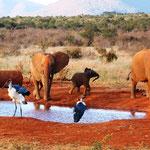 Elefanten mit Marabus am Wasserloch