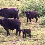 Büffelherde mit Jungtieren