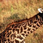Giraffe mit Madenhacker