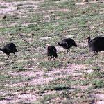 Helmperlhühner