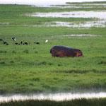 Flußpferd