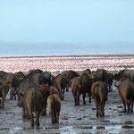 Büffel und Flamingos