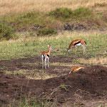Thomsonantilope