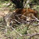 müder Löwe in der Mittagshitze