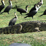 Krokodil, Kormorane, Ibisse