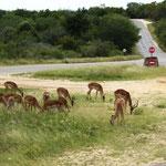 Impalas an der Straße