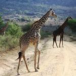 Giraffen auf der Straße