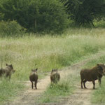 Warzenschweine