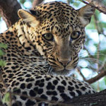 Leopard (Jungtier)