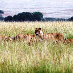 Löwenrudel beim Mahl