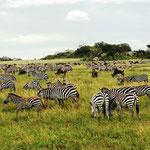 große Zebraherde