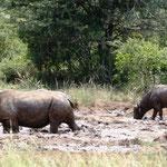 Breitmaulnashorn und Büffel