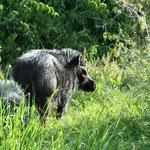 Riesenwaldschwein