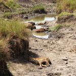 Hyänen fressen ein Krokodil