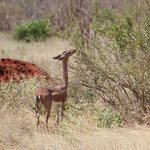 Gerenuk (weiblich)