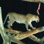 zweiter Leopard