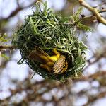 Webervogel am Nest