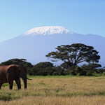Elefant vor dem schneebedeckten Kibo