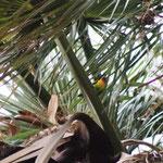 Pfirsichköpfchen