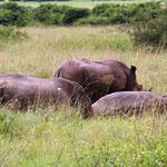 3 Breitmaulnashörner beim Schlammbad