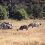 Zebras und Kleiner Kudu