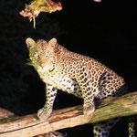 Leopard (weiblich)
