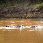 Flußpferde vor unserem Zelt