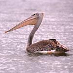 Pelikan (Jungtier)