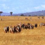 Zebra und Elenantilope