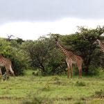 Masaigiraffe