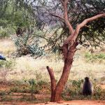 Pavian und Marabu