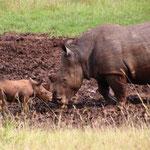 Breitmaulnashorn mit Baby