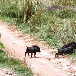 Warzenschweine mit Babys