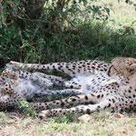 Mama und Kind Gepard