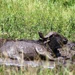 Kaffernbüffel im Spa