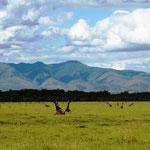 sitzende Giraffen