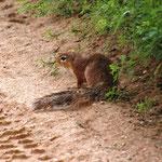 Buschhörnchen