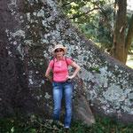 große Bäume - Wurzeln so hoch wie Wände
