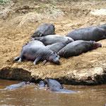 Flusspferde Am Mara River